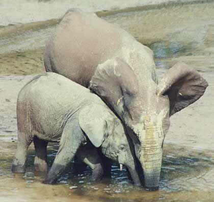 Elefanten am Wasserloch: Wegen lebensnotwendiger Mineralien kommen sie hierher