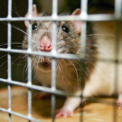 Ratten: Beute für Arme?