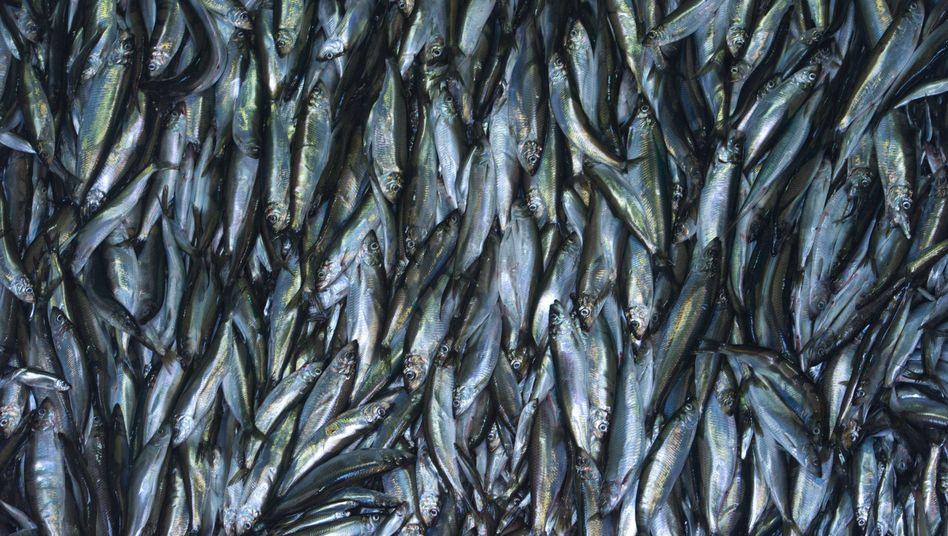 Fische aus der Ostsee (Symbolbild)