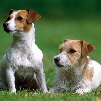 Terrier: Ungerechte Belohnung ruft Neidgefühle hervor