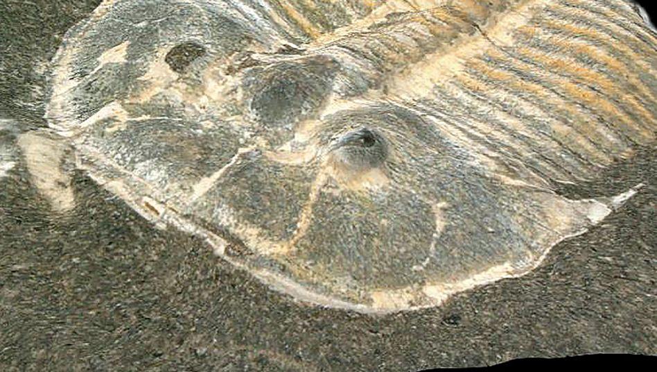 429 Millionen Jahre alt - aber das Auge des Trilobiten ist noch gut erhalten, wie Forscher in Köln jetzt zeigen konnten