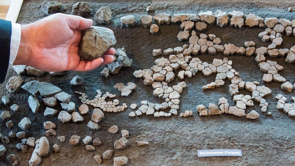 Das Grabungsteam präsentierte Samstag in Groß Pampau die Überreste einer rund elf Millionen Jahre alten Lederschildkröte (Psephophorus)