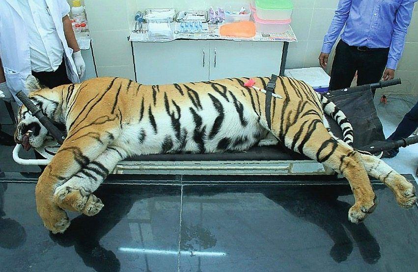 Erlegter Tiger