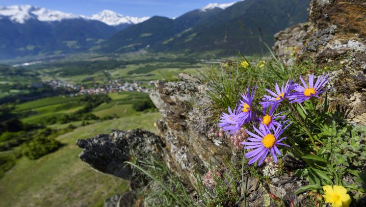 Klimawandel: Alpenpflanzen profitieren teilweise von der Erderwärmung