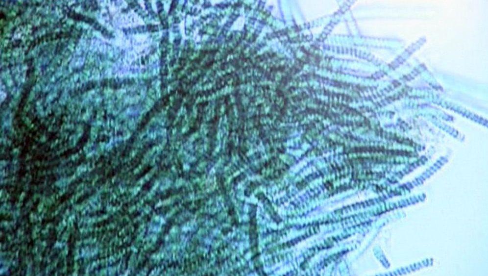 Cyanobakterien: Schwimmende Biosprit-Produzenten