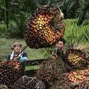 Bauern bei der Ernte von Palmöl-Früchten inKuala Lumpur: Selbstversorgung abgelegener Mobilfunkstationen mit Bio-Treibstoffen.