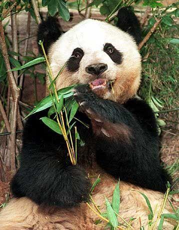 Pandabär: Die Tiere sind äußerst wählerisch in ihrer Nahrungsauswahl