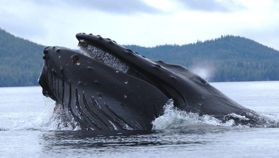 Buckelwal vor Alaska