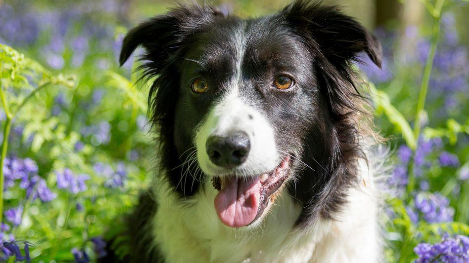 Border Collies gelten als besonders motiviert und temperamentvoll - eine wichtige Voraussetzung für gute Lernerfolge bei Hunden.