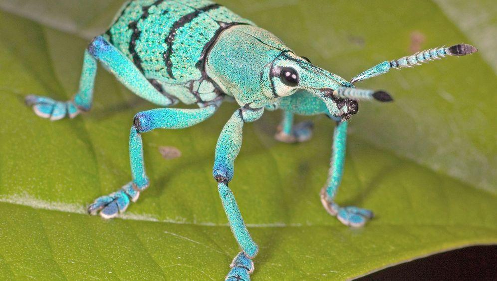 Rüsselkäfer: Insekten setzen auf Schraube-Mutter-Prinzip