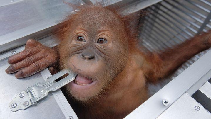 Orang-Utan-Baby: Rettung vor Schmuggler
