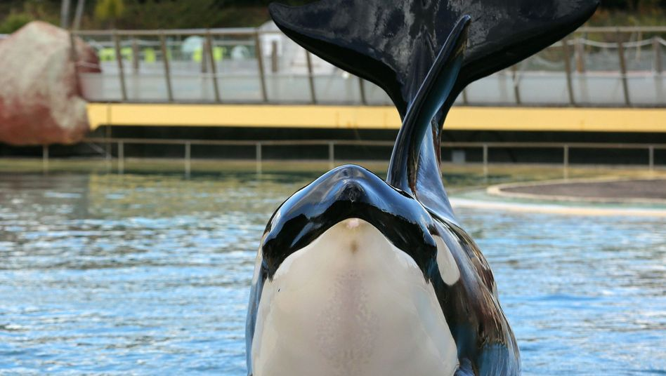 Orca im Park Marineland in Antibes