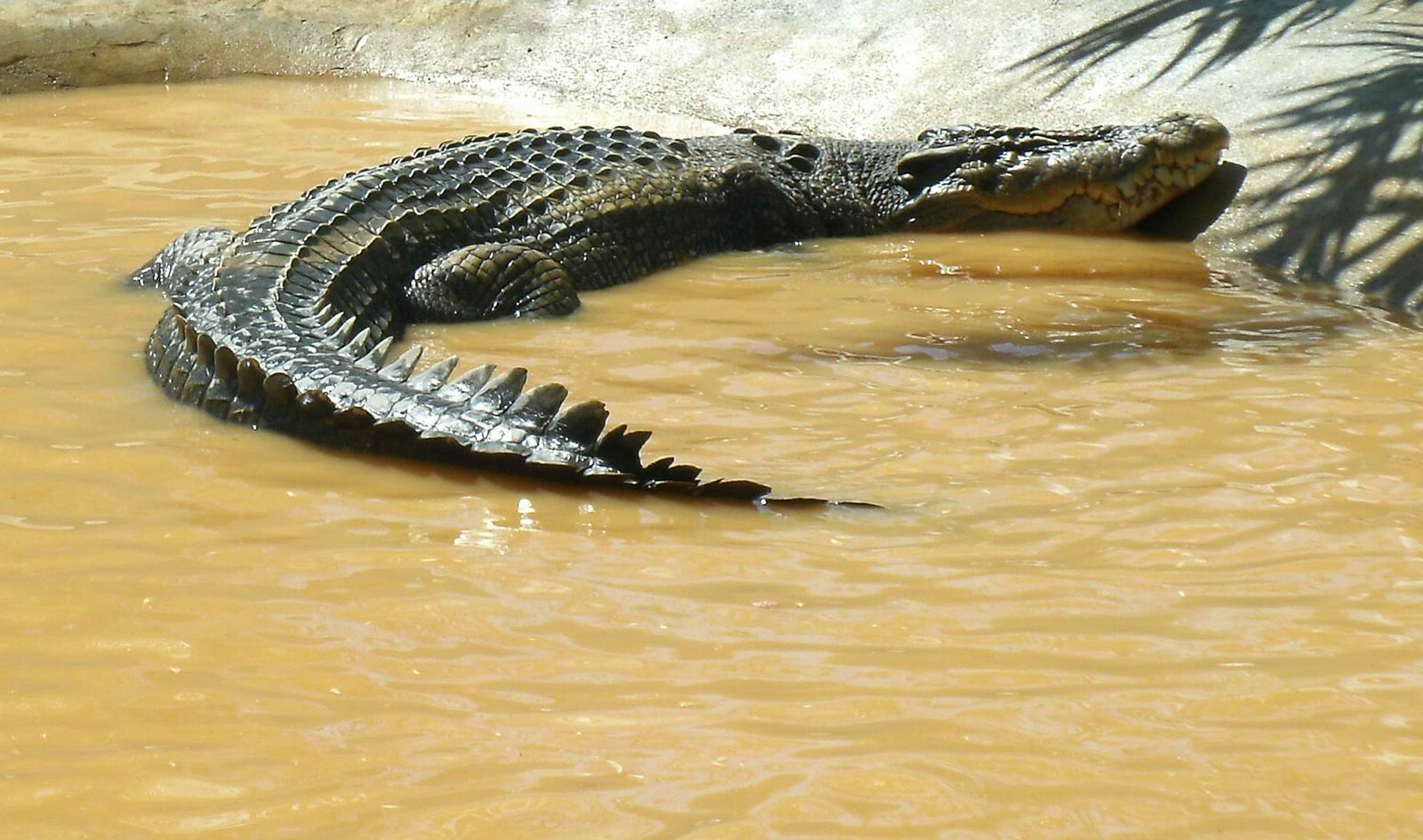 Lolong/ Krokodil