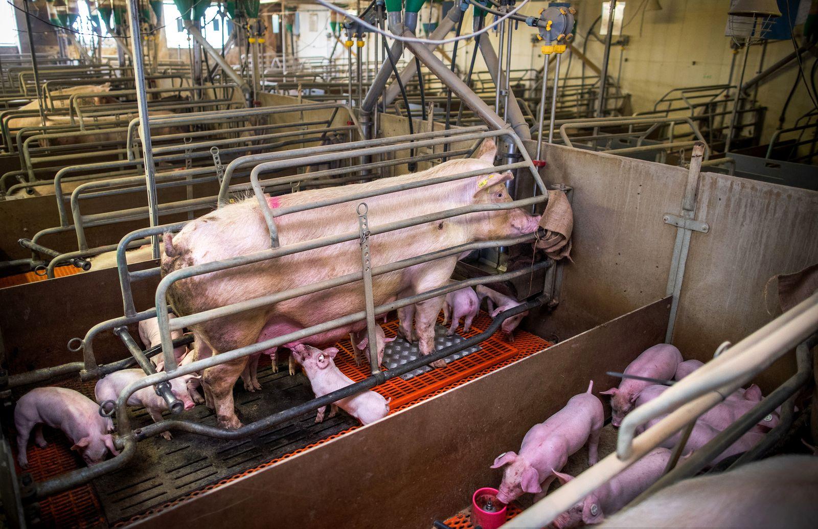 Schweinehaltung in Kastenständen