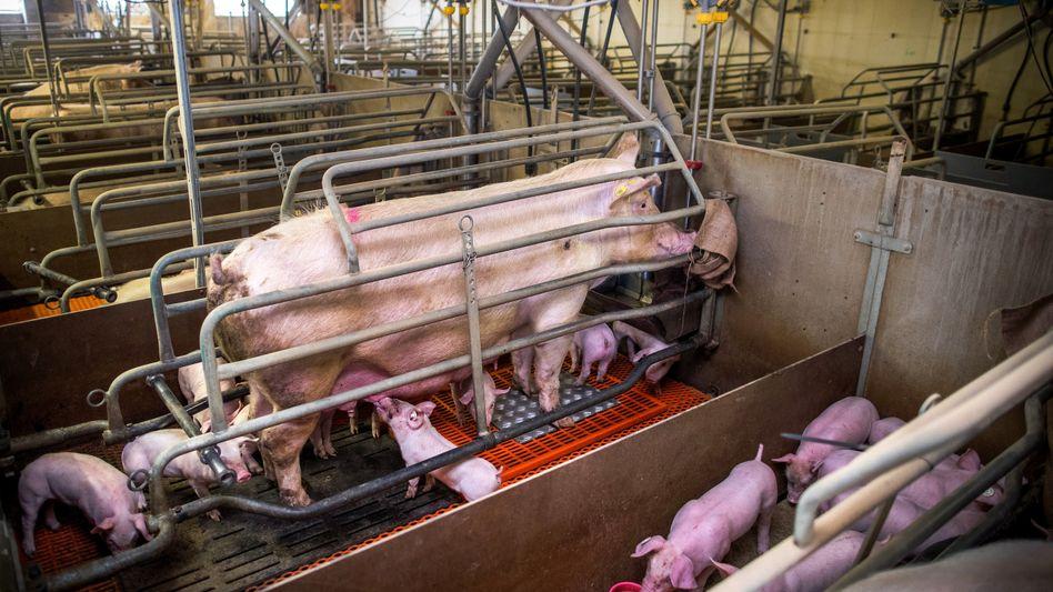 Muttersau und Ferkel in einem Schweinezuchtbetrieb in Mecklenburg-Vorpommern (Symbolbild): Recht zum Aufstehen genommen