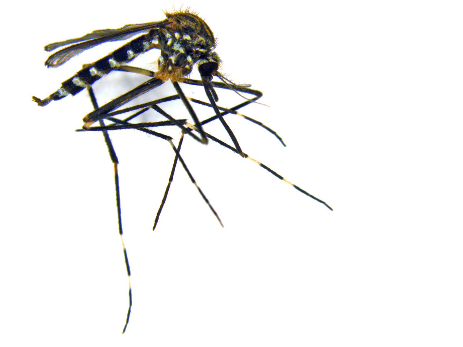 EINMALIGE VERWENDUNG Aedes japonicus japonicus, weiblich