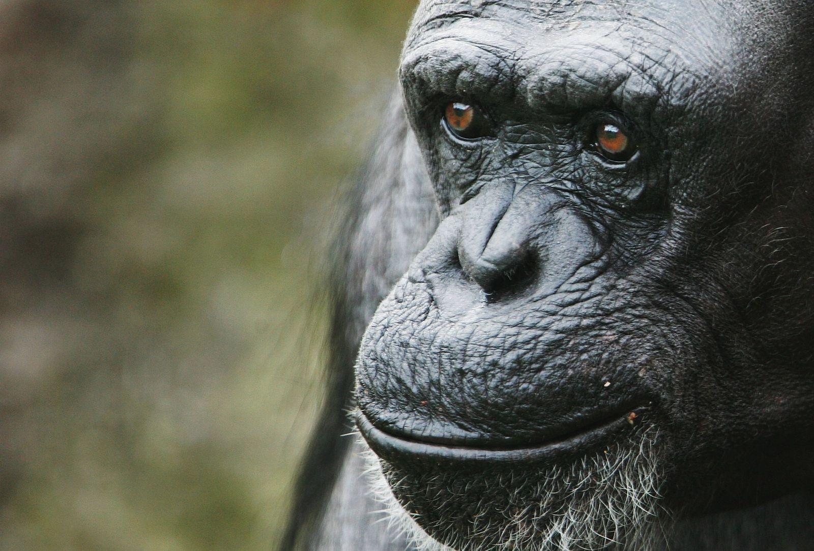 Schimpanse / Fifi