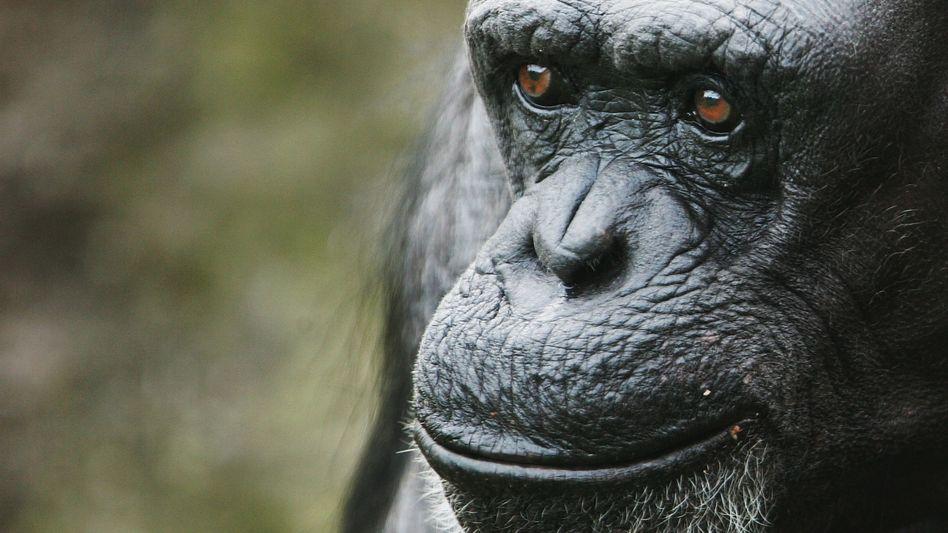 """Schimpansin im Zoo (in Sydney, Mai 2007): """"Der kulturelle Unterschied muss tiefverwurzelt sein"""""""