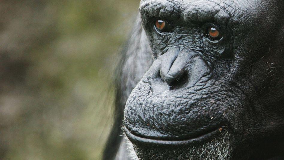Schimpanse im Zoo: Hilft nur ungern