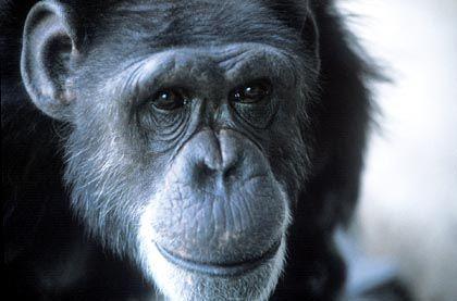 Schimpanse (Archivbild): Was geht in seinem Kopf vor?