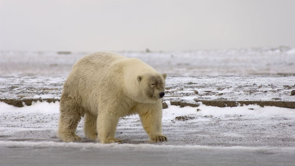 "A bear believed to be a ""pizzly,"" a hybrid between a polar bear and a grizzly bear."