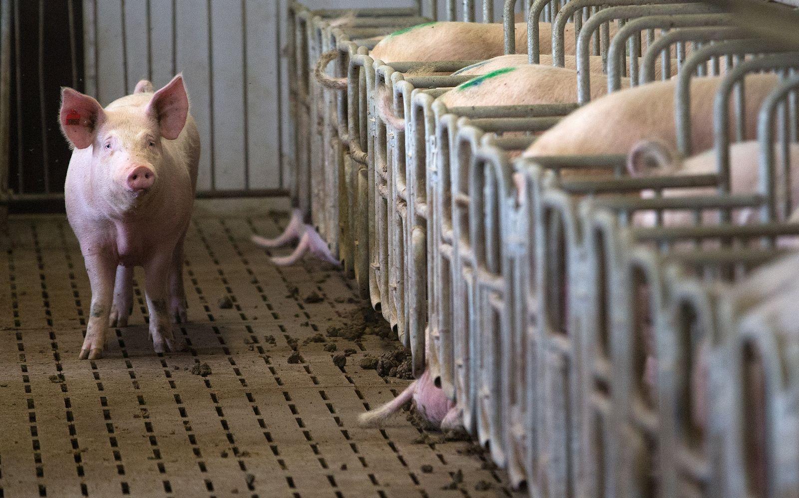 Tierwohl/ Schweine/ Massentierhaltung