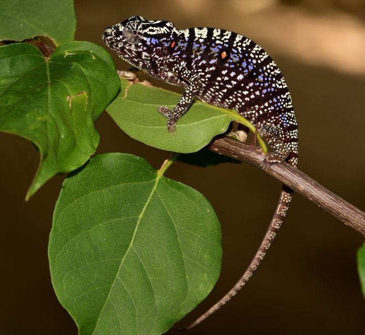 Weibliche Voeltzkow-Chamäleons färben sich besonders prächtig, wenn sie unter Stress stehen, Männchen begegnen oder trächtig sind