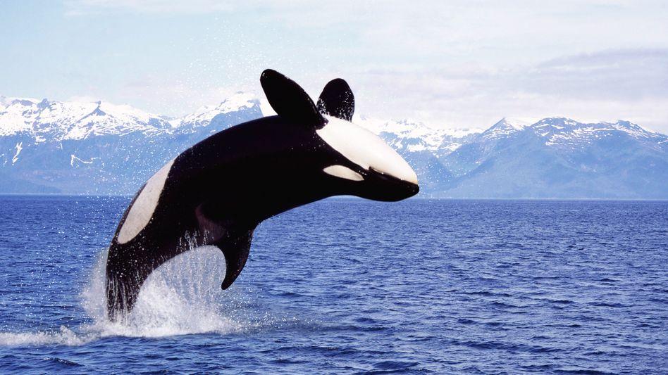 """Orca in Kanada (Archivbild): """"Die letzte Generation, die leiden muss"""""""