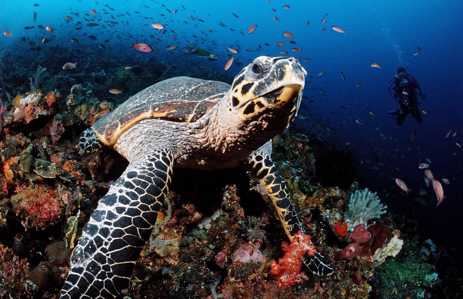 Karett-Schildkröte (Eretmochelys imbricata)