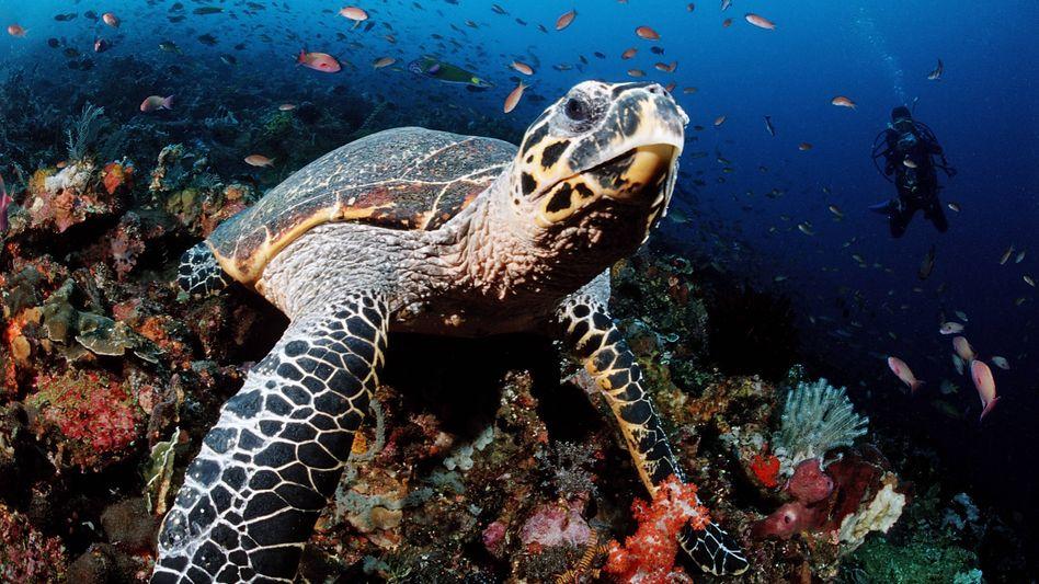 In Brasiliens Norden sind 97 vom Aussterben bedrohte Karettschildkröten geschlüpft (Symbolbild)