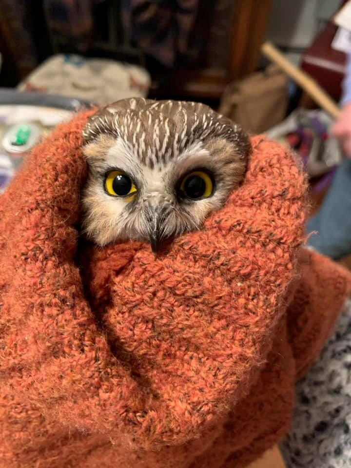Rockefeller, a northern saw-whet owl, looks up from a box in New York