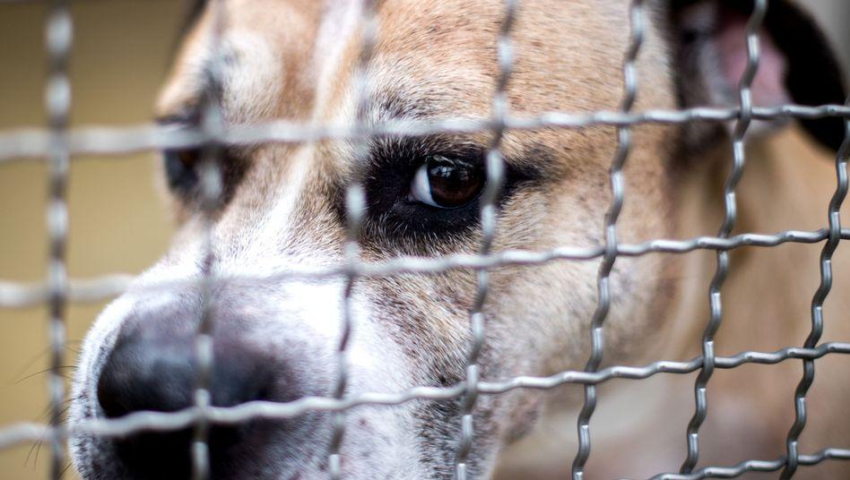 Staffordshire-Terrier-Mischling Chico