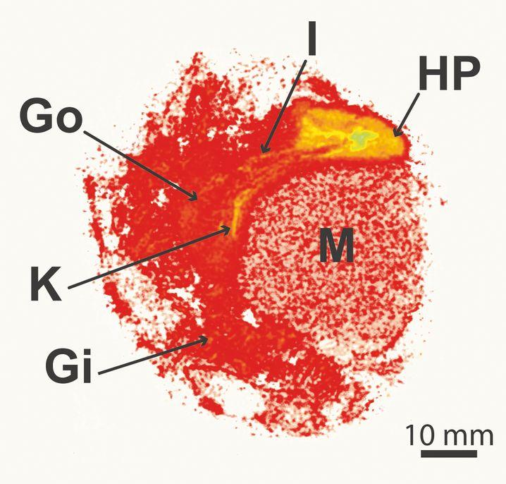 Das Bild zeigt die Muschel mit unterschiedlichen Organen: Kiemen (GI), Nieren (K), Gnoade (GO), Darm (I), Mitteldarmdrüse (HP) und Muskel (M)