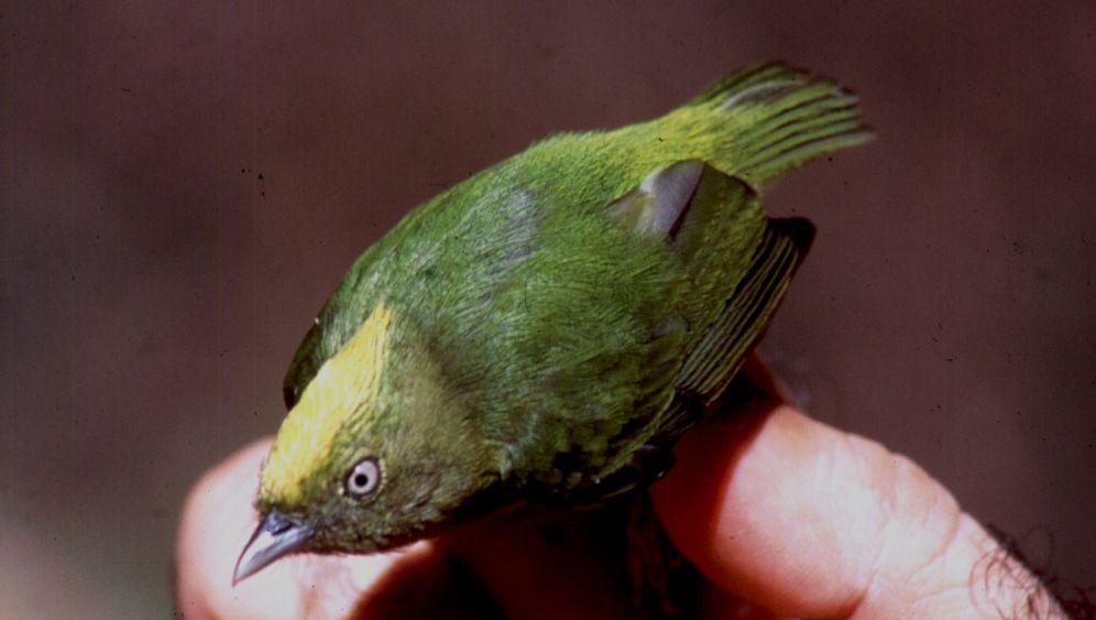 Vogel-Hybrid am Amazonas: Seltene Feder