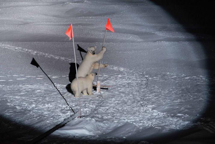 """Zwei Eisbären in der Nähe der """"Polarstern"""". Als das Bild entstand, war gerade kein Mensch auf dem Eis."""