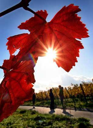 Weinberge bei Volkach in Unterfranken: Viel Sonne gab's in diesem Herbst