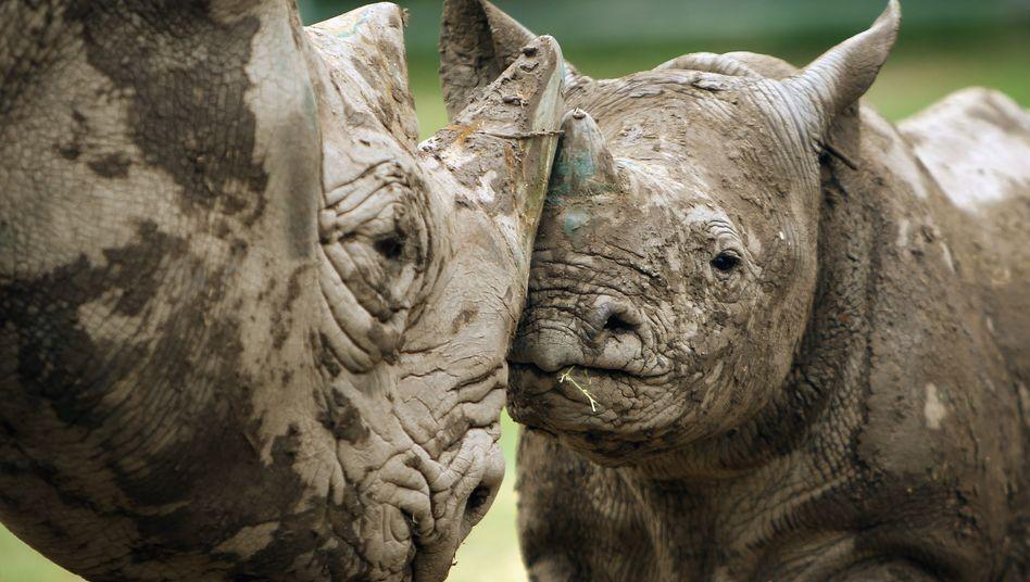Spitzmaulnashörner werden in Afrika von Wilderern wegen ihrer Hörner gejagt und nach Asien weiterverkauft.