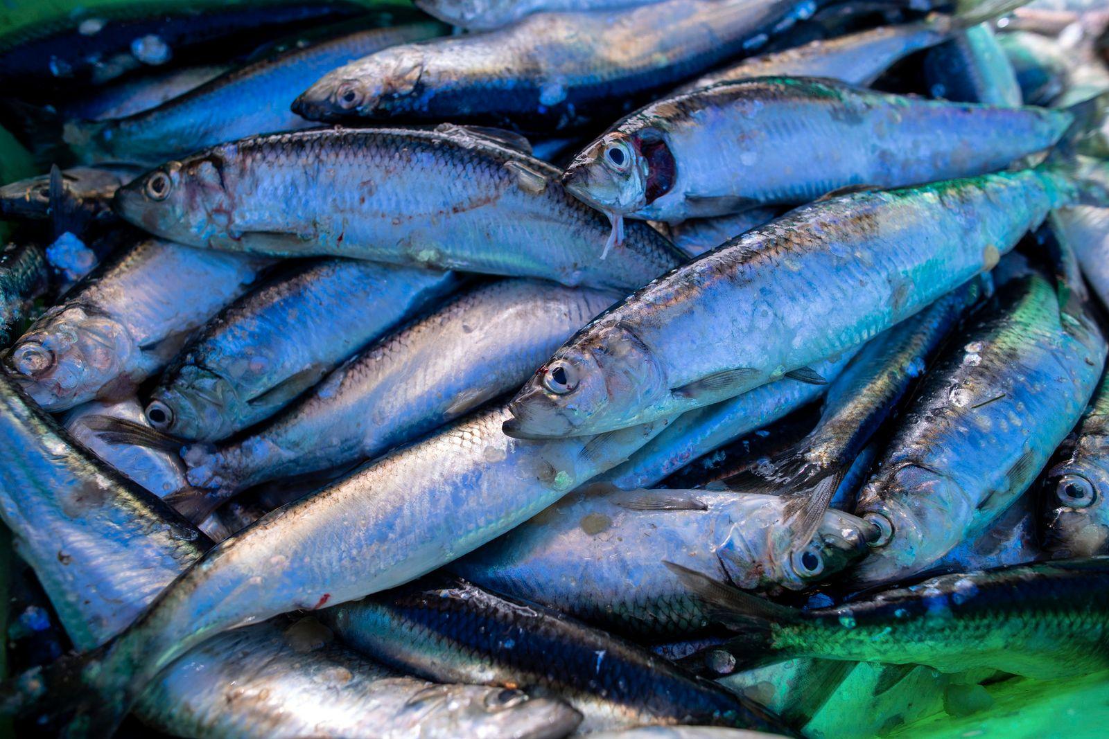 Fangquoten für Heringsfischer