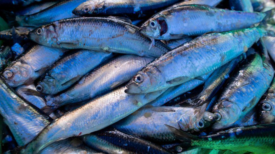 Frisch gefangene Heringe im Fischereihafen Freest (Mecklenburg-Vorpommern)