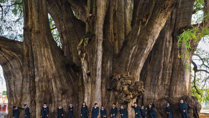 Kaurifichten, Zitterpappeln und Kampferlorbeer: Beeindruckende Bäume