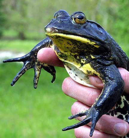 Aggressive Amphibien: Auch die französischen Ochsenfrösche bedrohen Tier- und Pflanzenwelt