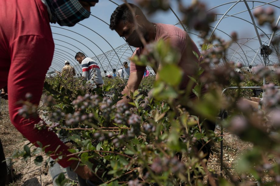 Berries all the way to the horizon: Harvest workers at the largest blueberry farm in Portugal