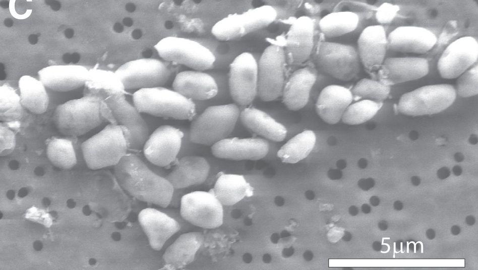 Aufnahme unterm Rasterelektronenmikroskop: GFAJ-1-Bakterien