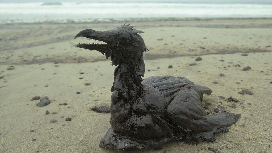 """Verschmutzter Vogel nach dem Untergang der """"Prestige"""" (Archivbild): Folgen halten bis heute an"""