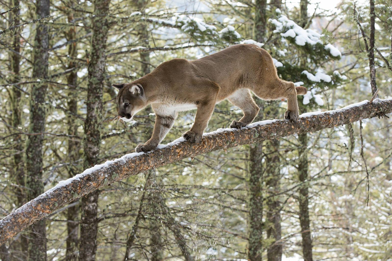 Mountain Lion Felis concolor on a branch climbing a tree USA Montana Mountain Lion PUBLICATIONx
