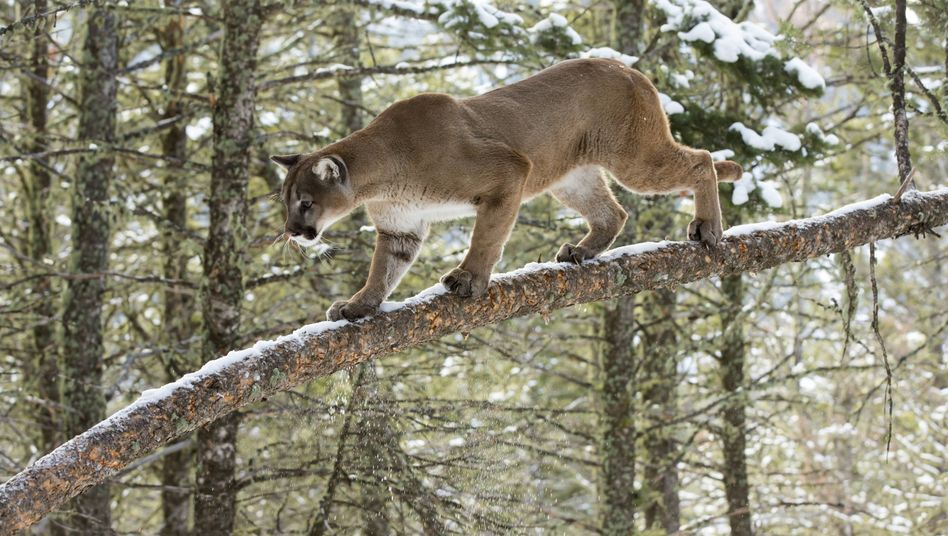 Puma auf einem Baum: weniger Bewegung durch menschliche Stimmen