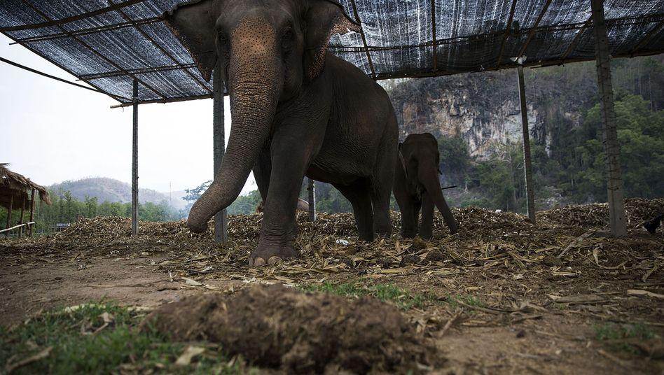 Elefanten in einem Tierpark in Thailand (Archivbild)