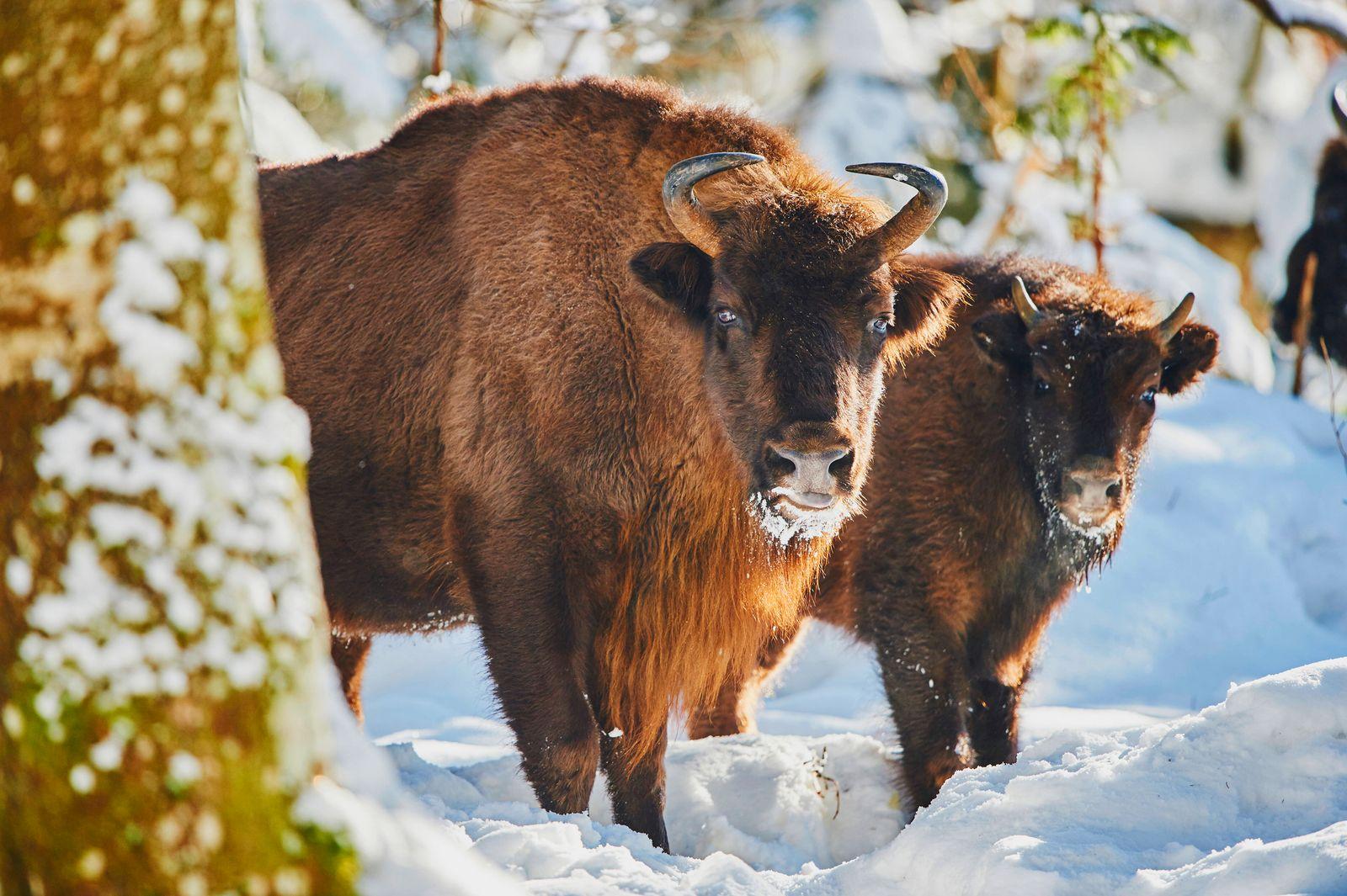 Wisent, Europaeischer Bison (Bison bonasus), Kuh mit Kalb im Schnee, Blickkontakt, Deutschland, Bayern, Bayerischer Wald