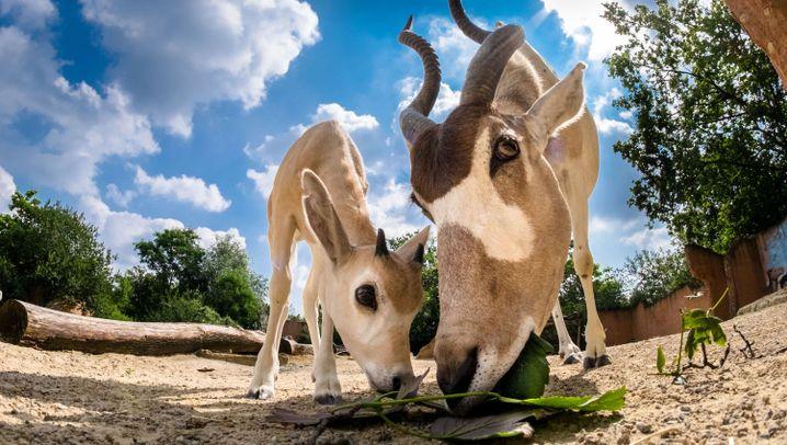 Addax-Antilopen: Aus Hannover in die Welt