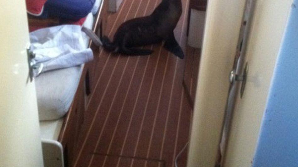 Seelöwenbaby auf Jacht: Schnarchender Gast in der Koje